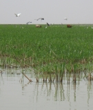 Hippo grass fields sustain the Inner Niger Delta