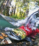 Salmon returning to the Elwha River