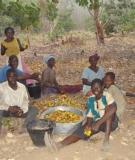 Cashew farmers, Bui Dam area