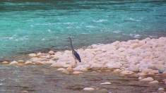 Photograph of the White Bellied Heron we managed to capture from a distance