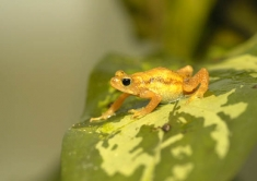 Kihansi Spray Toad: extinct because of a dam