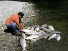 Low flows below dams killed thousands of salmon on the Klamath in 2002